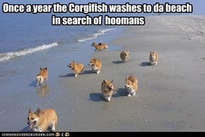 Once a year the Corgifish washes to da beach  in search of  hoomans