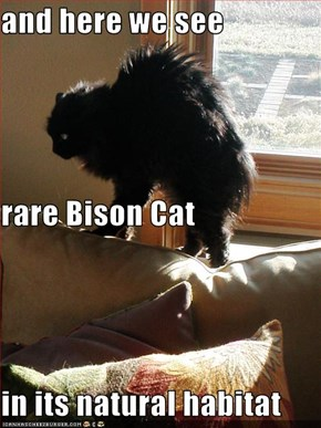 and here we see rare Bison Cat in its natural habitat