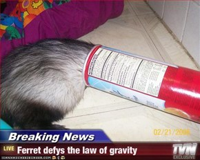Breaking News - Ferret defys the law of gravity
