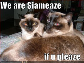 We are Siameaze  if u pleaze