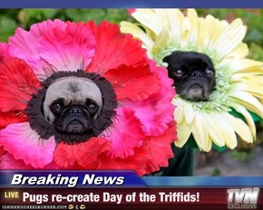 Breaking News - Pugs re-create Day of the Triffids!