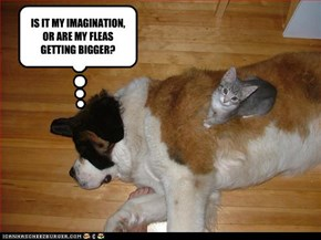 IS IT MY IMAGINATION, OR ARE MY FLEAS GETTING BIGGER?