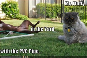 Mr. Fluffy in the Yard with the PVC Pipe.
