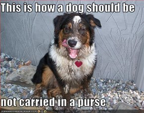 This is how a dog should be  not carried in a purse