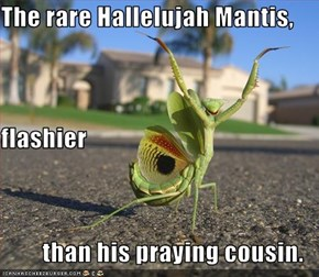 The rare Hallelujah Mantis, flashier than his praying cousin.