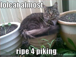 lolcat almost  ripe 4 piking