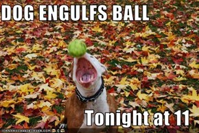 DOG ENGULFS BALL  Tonight at 11