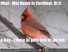 Ohai - Mai Name is Cardinal. Ai iz  a boy - cause Ai gots lots of da red.