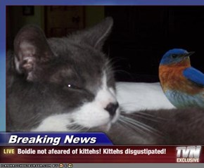 Breaking News - Boidie not afeared of kittehs! Kittehs disgustipated!