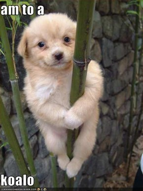 am to a   koalo