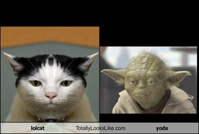 lolcat Totally Looks Like yoda