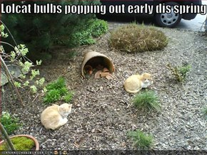 Lolcat bulbs popping out early dis spring