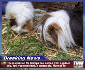 Breaking News - The inspiration for Trumps hair comes from a guinea pig. Yes, you read right, a guinea pig. More at 10.
