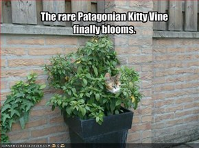 The rare Patagonian Kitty Vine finally blooms.