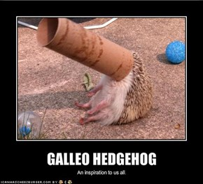 GALLEO HEDGEHOG