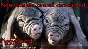 New canine breed developed,  Piggyhound