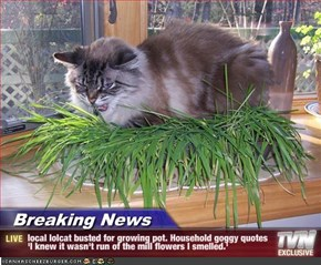 Breaking News - local lolcat busted for growing pot. Household goggy quotes 'I knew it wasn't run of the mill flowers I smelled.'