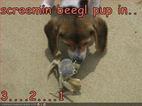 screemin beegl pup in..  3....2....1
