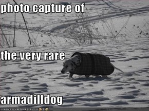 photo capture of  the very rare armadilldog
