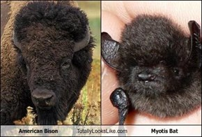 American Bison Totally Looks Like Myotis Bat