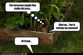 The ferocious jungle lion stalks his prey...