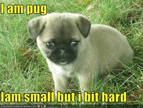 I am pug   Iam small but i bit hard
