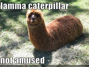 lamma caterpillar  not amused