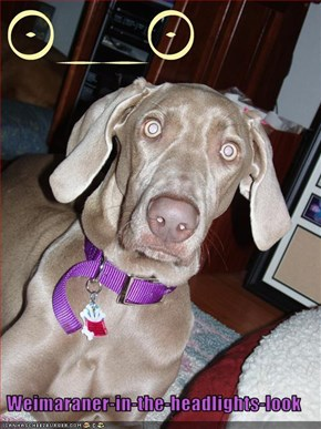 Weimaraner-in-the-headlights-look