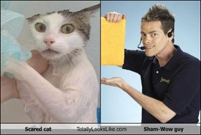Scared cat Totally Looks Like Sham-Wow guy