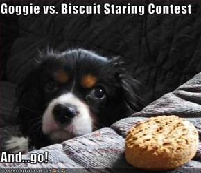 Goggie vs. Biscuit Staring Contest  And...go!