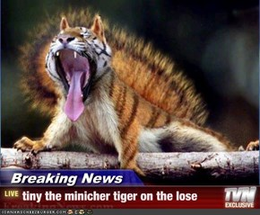 Breaking News - tiny the minicher tiger on the lose