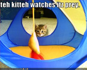 teh kitteh watches itz prey.