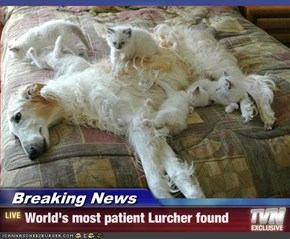 Breaking News - World's most patient Lurcher found