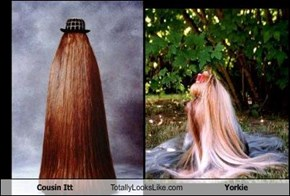 Cousin Itt Totally Looks Like Yorkie