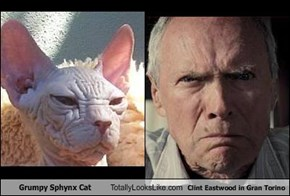 Grumpy Sphynx Cat Totally Looks Like Clint Eastwood in Gran Torino
