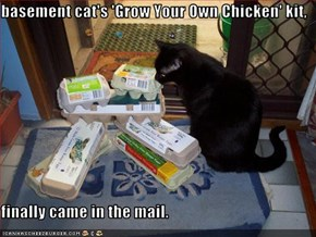 basement cat's 'Grow Your Own Chicken' kit,  finally came in the mail.