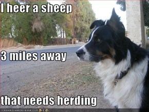 I heer a sheep 3 miles away that needs herding
