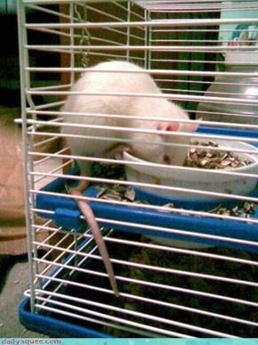hungry ratty