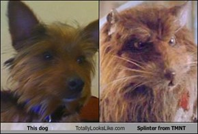 This dog Totally Looks Like Splinter from TMNT