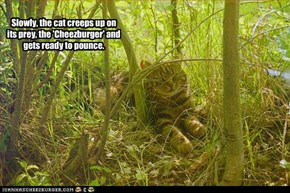Slowly, the cat creeps up on its prey, the 'Cheezburger' and gets ready to pounce.
