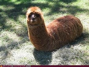 Llama, Llama, there's a Llama...