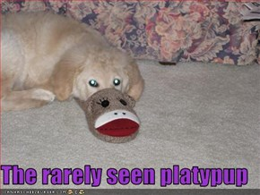 The rarely seen platypup
