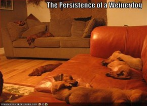 The Persistence of a Weinerdog
