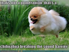 that's not a pomeranian, that's a  chihuahua breaking the sound barrier