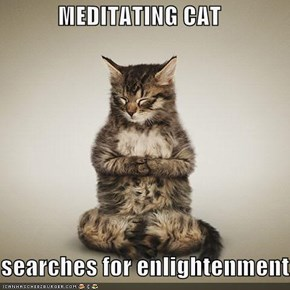 MEDITATING CAT  searches for enlightenment