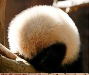 Panda Ball!
