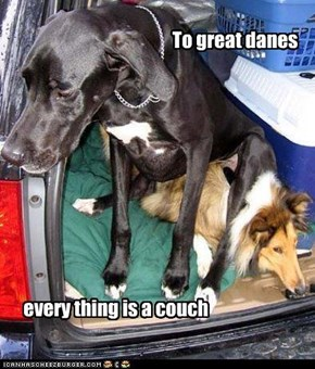 To great danes