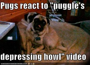 "Pugs react to ""puggle's   depressing howl"" video"