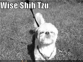 Wise Shih Tzu
