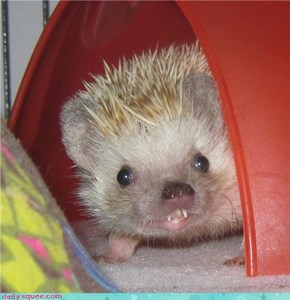 My Hedgehog Phoebe